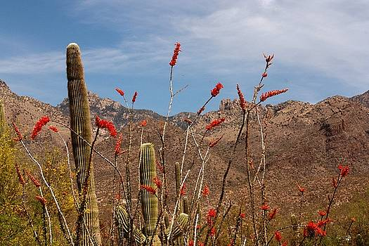 Sabino Canyon Saguaro and Ocotillo by Judy C Moses