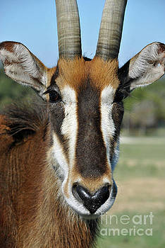 Sable Antelope by Inspirational Photo Creations Audrey Woods