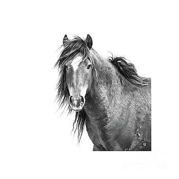 Sable Island Wild Stallion by Heather Swan