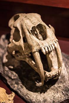 Sabretooth Skull  by Scott Harris