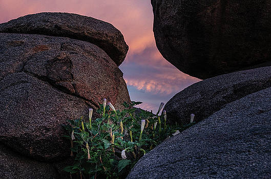 Sacred Datura amongst the boulders by Gaelyn Olmsted