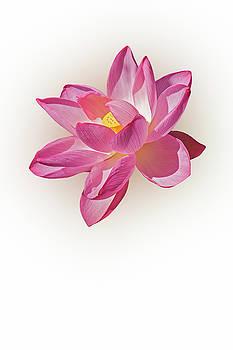 Sacred lotus flower 01 by Nick Kurzenko