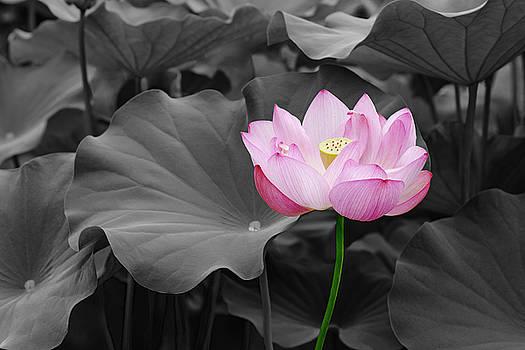 Sacred lotus flower 03 by Nick Kurzenko