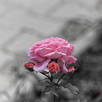 Sad pink rose with three buds by Adrian Bud