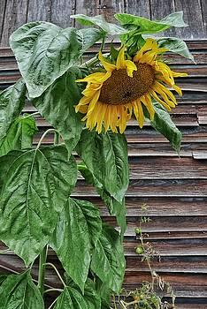Sad Sunflower by Steffani Cameron