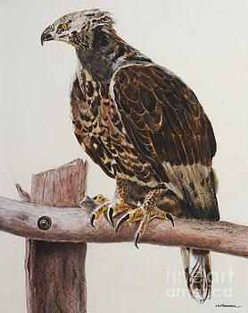 Safari hawk by Monica Carrell