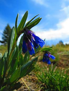 Leah Grunzke - Sagebrush Bluebells