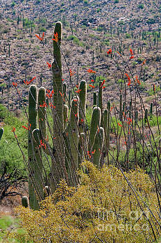 Bob Phillips - Saguaro and Ocotillo Cacti