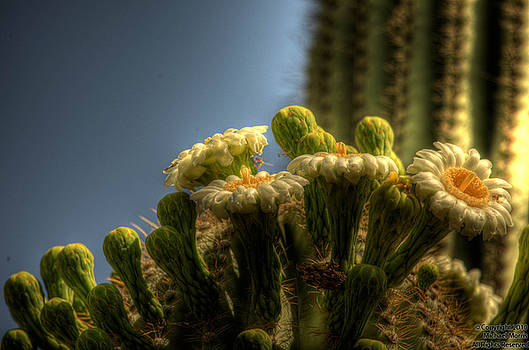 Saguaro Blooms by Michael Morris