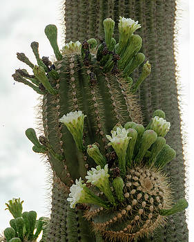 Saguaro buds and blooms by Gaelyn Olmsted