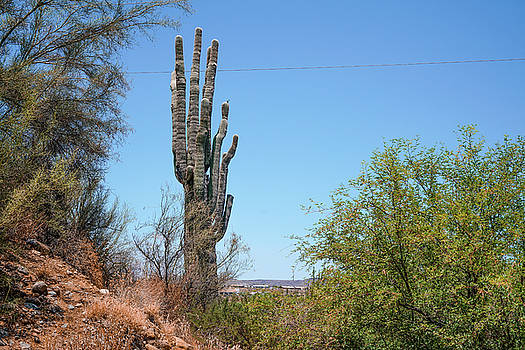 Saguaro Cactus by Ric Schafer