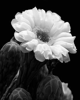 Guy Shultz - Saguaro First Bloom