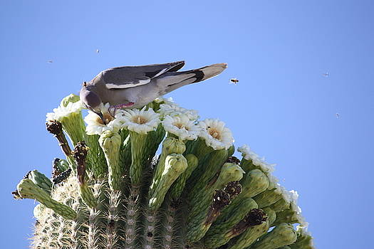 Saguaro Flowers and Dove with Bees by Judy C Moses