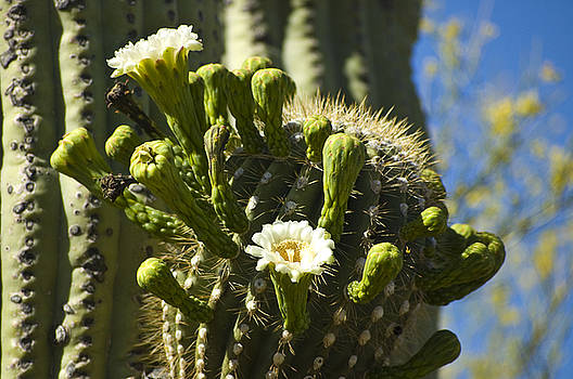 Saguaro Flowers by Sheri Heckenlaible