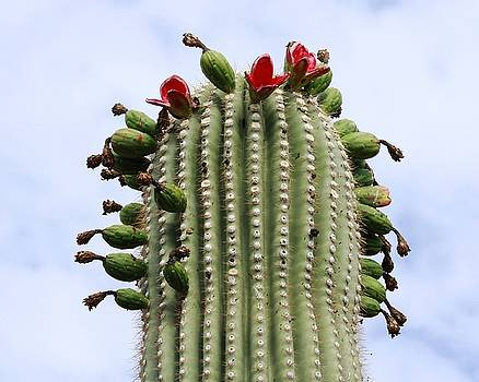 Saguaro Fruit by Judy C Moses