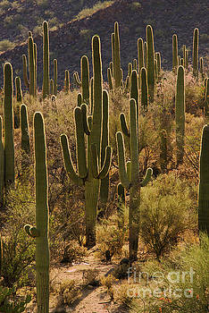 Bob Phillips - Saguaro Grove at Sunset