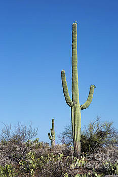 Saguaro National Park Arizona by Steven Frame