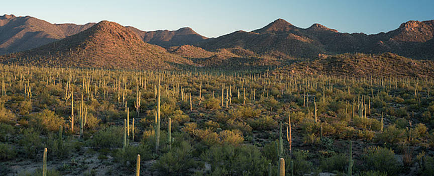 Saguaro National Park at Signal Hill Panoramic by Steve Gadomski