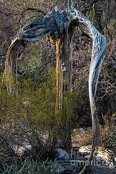 Bob Phillips - Saguaro Skeleton