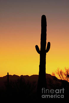 Saguaro Sunset Silhouette by Max Allen