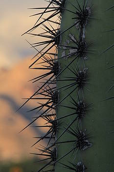 Saguaro with Catalinas by Judy C Moses