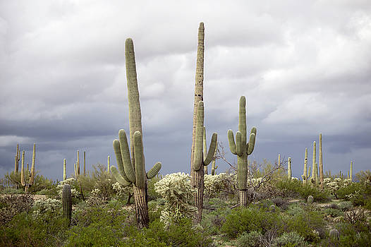 Saguaros Softly Lit by Ryan Seek