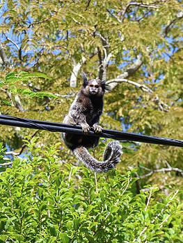 Cute marmoset in nature by Helissa Grundemann