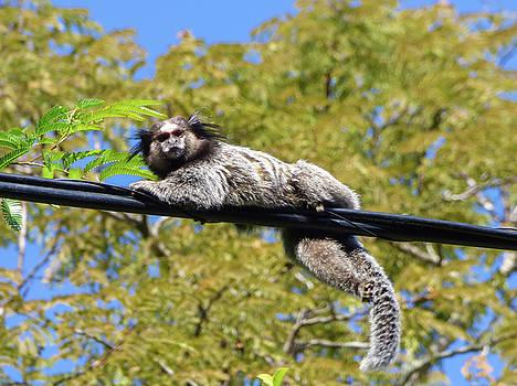 Cute marmoset relaxing by Helissa Grundemann