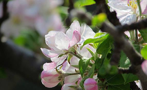 Sakura's Flowers by Cesar  Vieira
