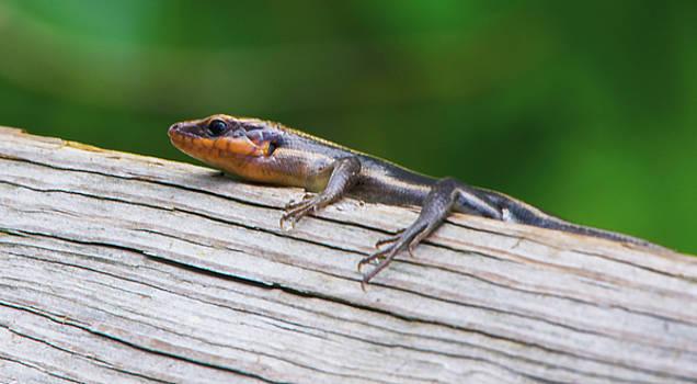 Salamander 2017 1 by Buddy Scott
