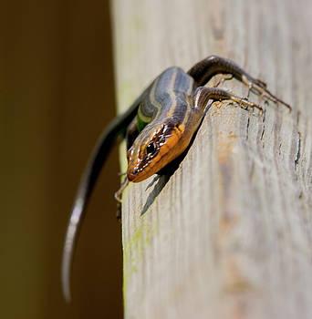 Salamander 3 by Buddy Scott