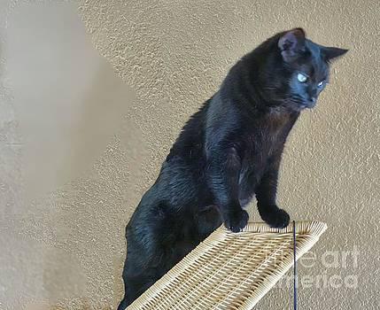 Salem the Cat on Wicker by Janette Boyd