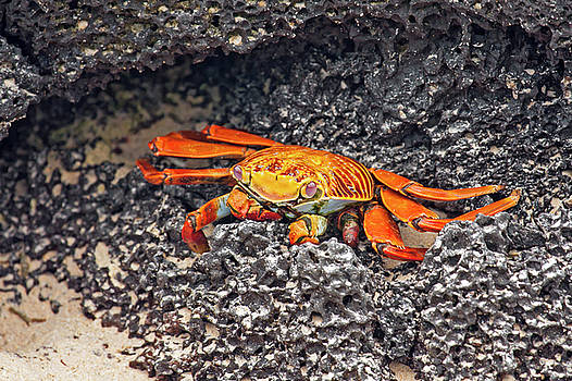 Sally Lightfoot Crab on Lava by Sally Weigand