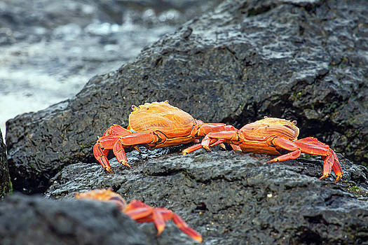 Sally Lightfoot Crabs Duo by Sally Weigand