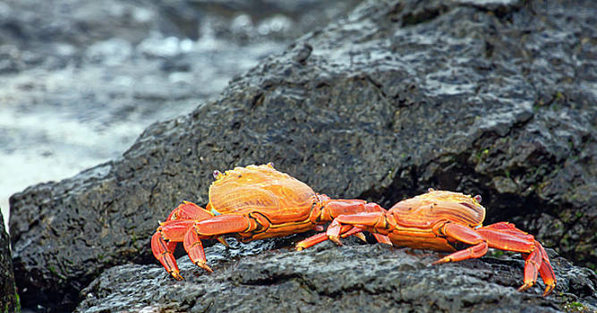 Sally Lightfoot Crabs Pair by Sally Weigand