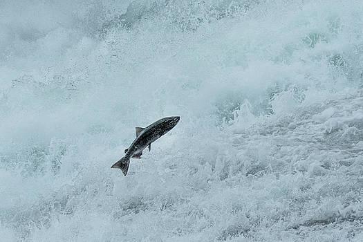 Salmon Run by Christian Heeb