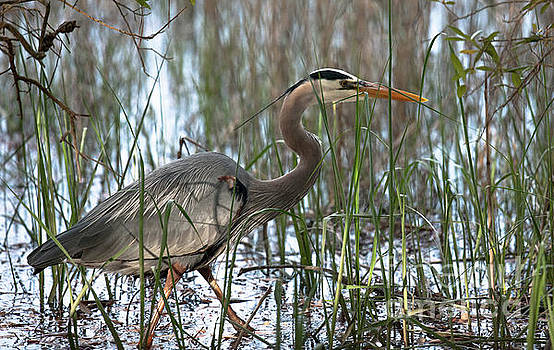 Dale Powell - Salt Marsh Blue Heron II