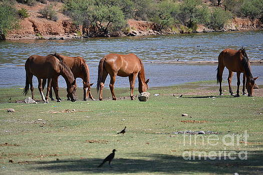 Heather Kirk - Salt River Wild Horses Tonto National Forest Feeding Number One