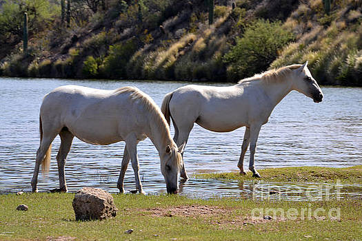 Heather Kirk - Salt River Wild Horses Tonto National Forest Two White Mares Number One