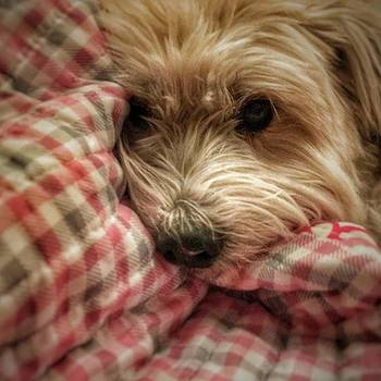 A Dog Is Snuggled Into A Quilt by Phunny Phace