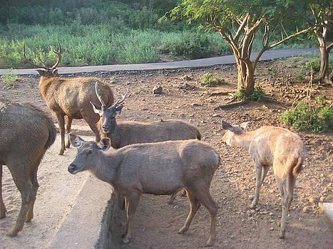Sambar  Deers. by Siddarth Rai