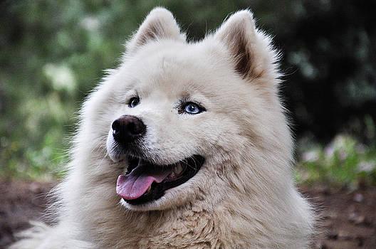 Samoyed Dog by Freepassenger By Ozzy CG