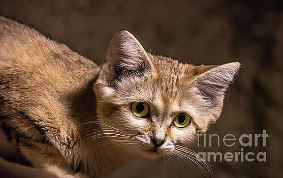 Sand Cat by Lisa L Silva