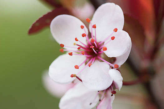 Sand Cherry Blossom by Mark Michel