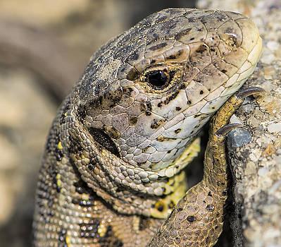 Sand-Lizard by Thomas Schreiter