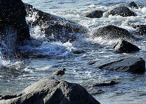 Sand Plover Watching Waves by Allan Einhorn
