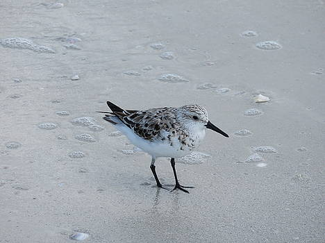 Sanderling at Fort Myers Beach by Julie Harrington