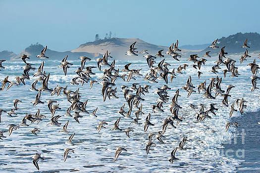 Sanderling Fly By by Tim Moore