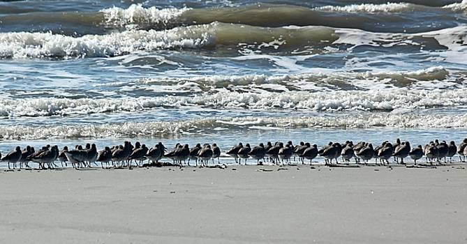 Sanderling Line Up by Rosanne Jordan