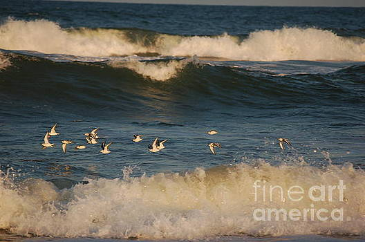 Sanderlings in flight by Don Wilhour